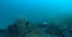 Silver spotless glassfish swimming and schooling on deep coral reef, Siphamia - stock footage