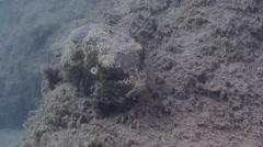 Juvenile Star pufferfish sleeping on silty rock wall, Arothron stellatus, HD, Stock Footage
