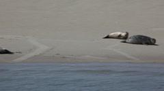 Seals Sandbank North Sea Stock Footage
