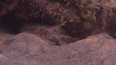 Unidentified frillgoby looking around on silty rock wall, Bathygobius sp., HD, Stock Footage