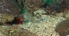 Peacock smasher mantis shrimp behaving nervously, Odontodactylus scyllarus, 4K Stock Footage