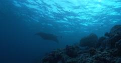 Reef manta ray swimming on coral reef, Manta alfredi, 4K UltraHD, UP36071 Stock Footage
