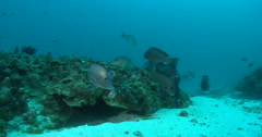 Ocean scenery tight group resting next to low coral bommie cleaning station, on Stock Footage