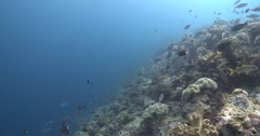 Gold-lined sea bream swimming and schooling on coral reef, Gnathodentex Stock Footage