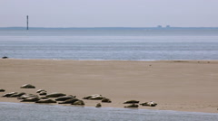Seals Sandbank North Sea Stock Footage