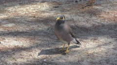 Common Myna  bird Stock Footage