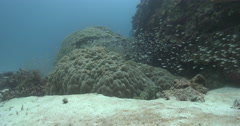 Honeycomb grouper ambush predator waiting on deep coral reef, Epinephelus merra. Stock Footage
