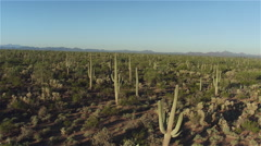 AERIAL: Flying over big cactus wilderness in sunny morning Stock Footage
