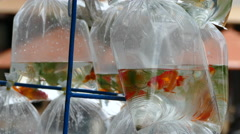 Close up from Gold fish in a plastic bags on the back of a motorbike - stock footage