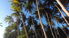 Coconut Palm Tree Against the Blue Sky Stock Footage