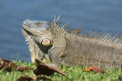 Green Iguana Iguana iguana by water Limon Province Costa Rica North America - stock photo