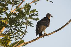 Black Vulture Coragyps atratus perched on a tree branch Heredia Province Costa Stock Photos