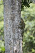 Green Iguana Iguana iguana climbing on a tree trunk Limon Province Costa Rica - stock photo