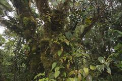 Cloud forest Santa Elena Cloud Forest Reserve Alajuela province Costa Rica Stock Photos