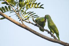 Stock Photo of Redlored Amazons Amazona autumnalis perched on a tree branch pair mutual