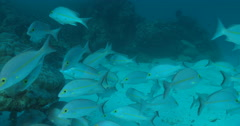 Yellow-banded snapper hunting and schooling on deep coral reef, Lutjanus adetii, Stock Footage