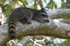 Raccoon Procyon lotor lying on a tree branch in the tree Manuel Antonio Stock Photos