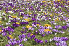 Blooming Spring Crocuses in a meadow Crocus vernus hybrids BadenWuerttemberg - stock photo