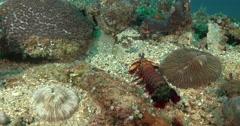 Peacock smasher mantis shrimp hiding, Odontodactylus scyllarus, 4K UltraHD, Stock Footage