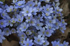 Blooming hepatica Hepatica nobilis Upper Franconia Bavaria Germany Europe - stock photo