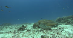 Green turtle feeding on healthy mix of seagrass and coral, Chelonia mydas, 4K Stock Footage