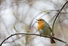 Singing European robin Erithacus rubecula perched on a twig Hesse Germany Europe - stock photo
