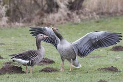 Greylag goose Anser anser pair in courtship display Hesse Germany Europe - stock photo