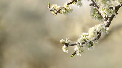 Beautiful blossoming cherry-tree garden, sunset light Stock Footage