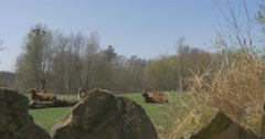 View of Camels Animals From Behind Stones in Zoo Springtime Animals With Two Stock Footage