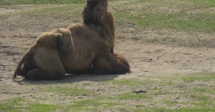 Bactrian Camel Gets up Leaned to His Knees Animal With Two Humps Even-Toed Stock Footage
