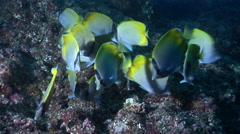Crochet butterflyfish feeding and schooling on rocky reef, Chaetodon guentheri, Stock Footage