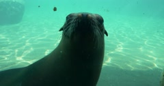 Earless Seals Frolic Under the Water in the Zoo Pinnipeds Mammals in a Small Stock Footage