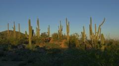 Amazing tall saguaro cactuses growing in amazing sunny Arizona desert Stock Footage