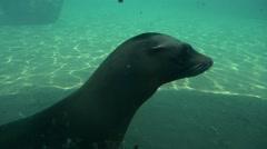 Bearded Seals Graceful Float Under the Water Oceanarium Slow Motion Mammals in Stock Footage