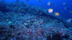 Crochet butterflyfish swimming on rocky reef, Chaetodon guentheri, HD, UP31961 Stock Footage