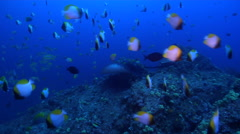 Black-blotched stingray swimming on rocky reef, Taeniura meyeni, HD, UP31962 Stock Footage