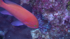 Cleaner wrasse cleaning and being cleaned, Labroides dimidiatus, HD, UP31974 Stock Footage