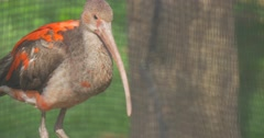 Juvenile Red and Gray Scarlet Ibis Bird Zoology Studying Long Down Curved Beak Stock Footage