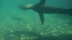 Bearded Seal Are Swiming in Aquarium of the Zoo Slow Motion Pinnipeds Mammals Stock Footage