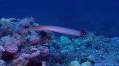 Trumpetfish hunting on rocky reef, Aulostomus chinensis, HD, UP31979 Stock Footage