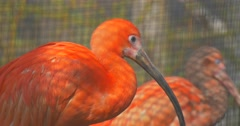 Two Scarlet Ibises Birds Bright Red Feathers Long Down Curved Beak in Zoo Stock Footage