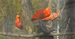 Three Ibises on a Tree in Aviary Scarlet Ibis Bird With Bright Red Feathers Stock Footage