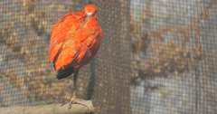 Scarlet Ibis is Standing on One His Leg Sleeping Bird Bright Red Feathers Black Stock Footage