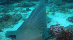 Juvenile Zebra shark swimming on rocky reef, Stegostoma fasciatum, HD, UP32004 Stock Footage