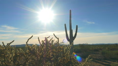 Big wild cactuses growing in rocky desert on summer evening - stock footage
