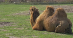 Bactrian Camel Lying Down on a Grass at the Sun Large Animal With Two Humps Stock Footage