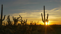 Golden evening sun shining through wild cactuses in desert wilderness - stock footage
