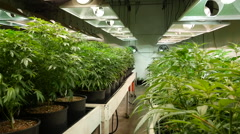 Marijuana  / Cannabis Grow Operation - Dolly Shot Stock Footage