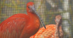 Two Scarlet Ibises Looking at Camera Red Feathers Long Neck Birds in Zoo Aviary Stock Footage