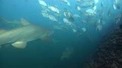 Unidentified trevally hovering on rocky reef, Carangoides sp., HD, UP32054 Stock Footage